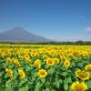富士山をバックに絵になる山中湖花の都公園のひまわり畑