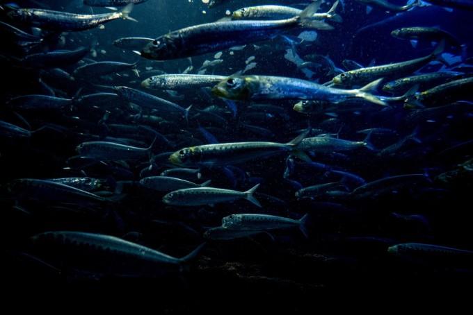 EPA  魚 ダイエット