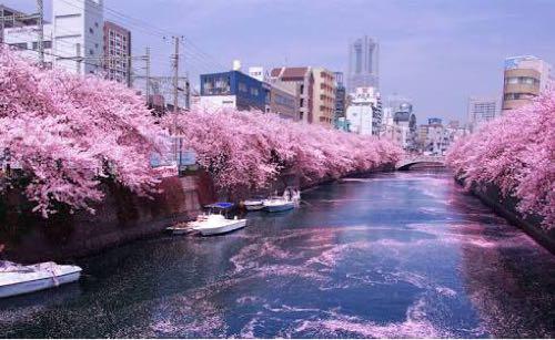 春 桜 名曲