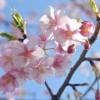 春の桜と言えば、定番と言える誰でもが納得の名曲PV6つ